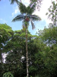 Dypsis   sp_opt.jpg